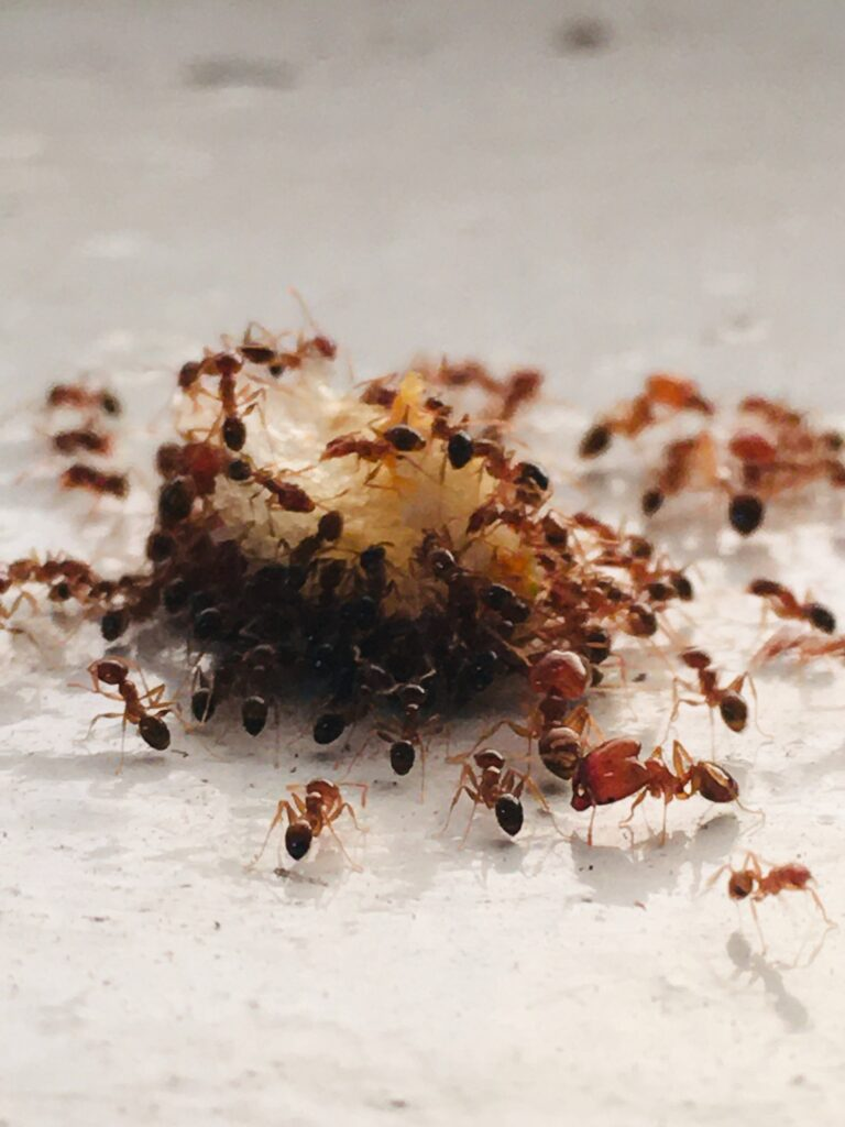 Pharmcle Ph How To Keep Your Home Ant Free In 2 Steps